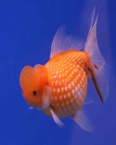 goldfish 2  