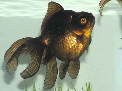 goldfish 5  