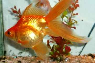 goldfish 6  