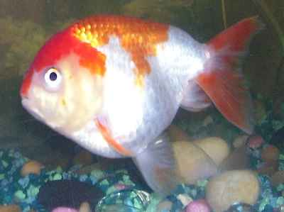 goldfish 7  