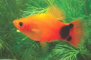 platy  (  )
