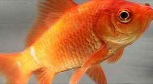 Common_goldfish1