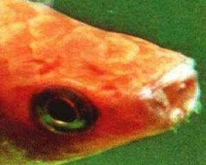 قارچ دهان ماهیان اب شیرین