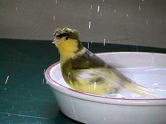 حمام دادن یا استحمام قناری