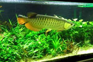 شناخت و نگهداری ماهی آروانا