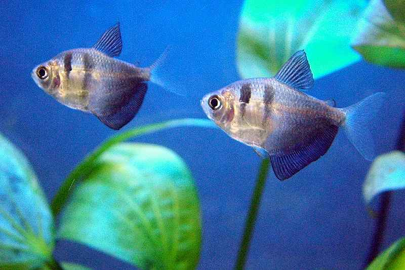ماهی بلک ویدو