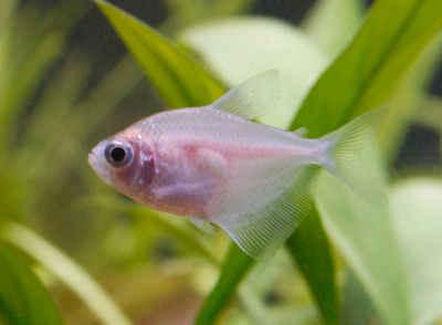 ماهی کالر ویدو