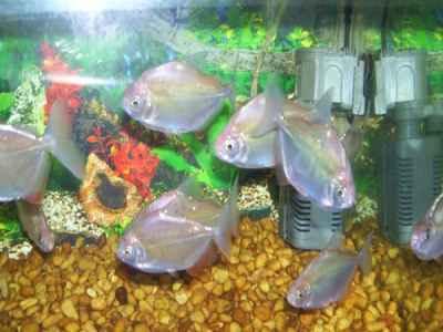 ماهیان اکواریومی