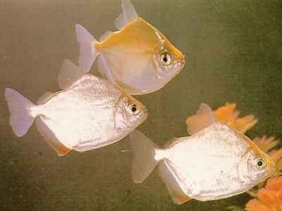 ماهیان آکواریومی - سیلور دالر
