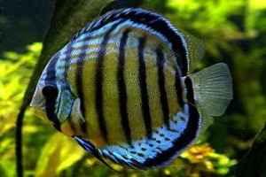 ماهی دیسکاس