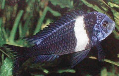 ماهی دوبویسی