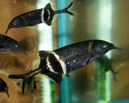 ماهی فیلی