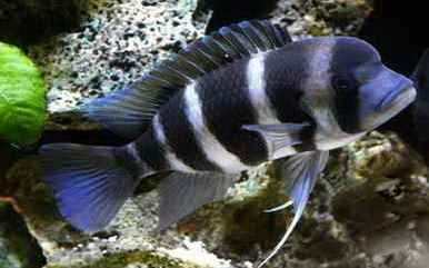 شناخت و نگهداری ماهی فرانتوزا