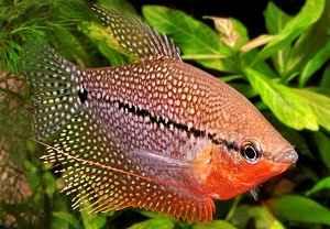 ماهی گورامی