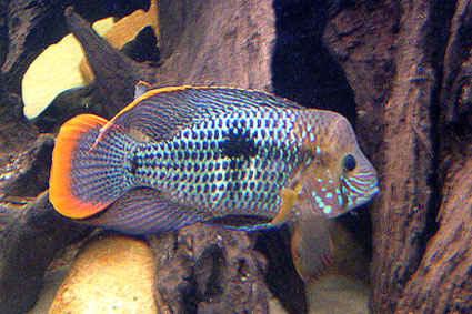 ماهی گرین تیلور