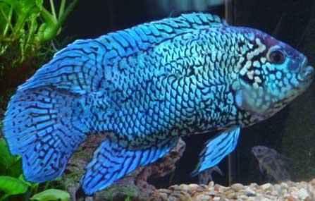 ماهی جک دمپسی