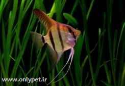 ماهی انجل