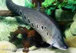 ماهی نایف یا چاقو ماهی
