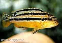 ماهی اوراتوس