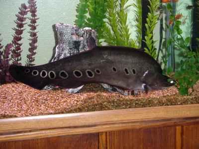 ماهی نایف