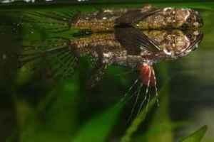 شناخت و نگهداری پروانه ماهی افریقایی