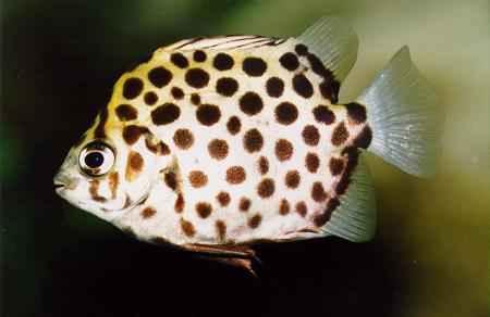 ماهی اسکات ، ماهی گرمابی ، تصویر ماهی اسکات ، انواع ماهی اسکات ، پاورپوینت معرفی ماهیان گرمابی