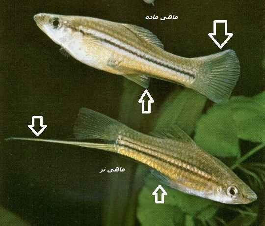 ماهی سوارتل