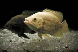 ماهیان اکواریومی-اسکار
