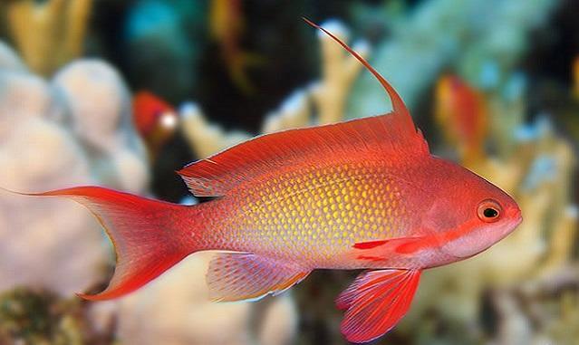 آنتیاس دم چنگی (طلای دریا)