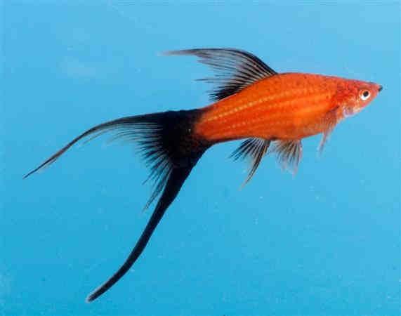 نتیجه تصویری برای ماهی سوارتر