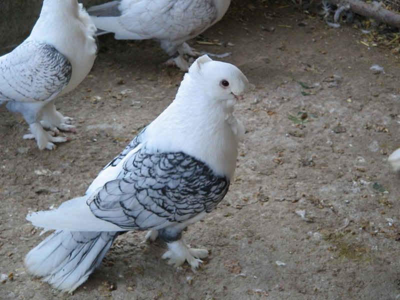 کبوتر سبز عکس کبوتر