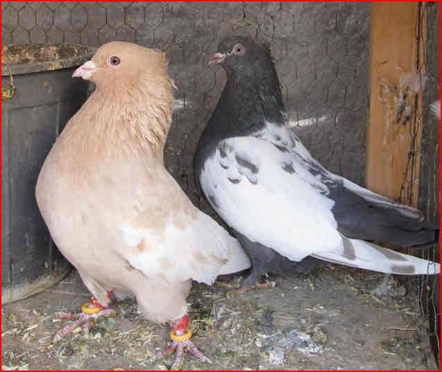 عکس نوشته عشق بازی کبوتر