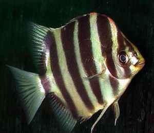 1412256103 ماهی اسکات (سیلور اسکات ، اسکات سبز و قرمز)