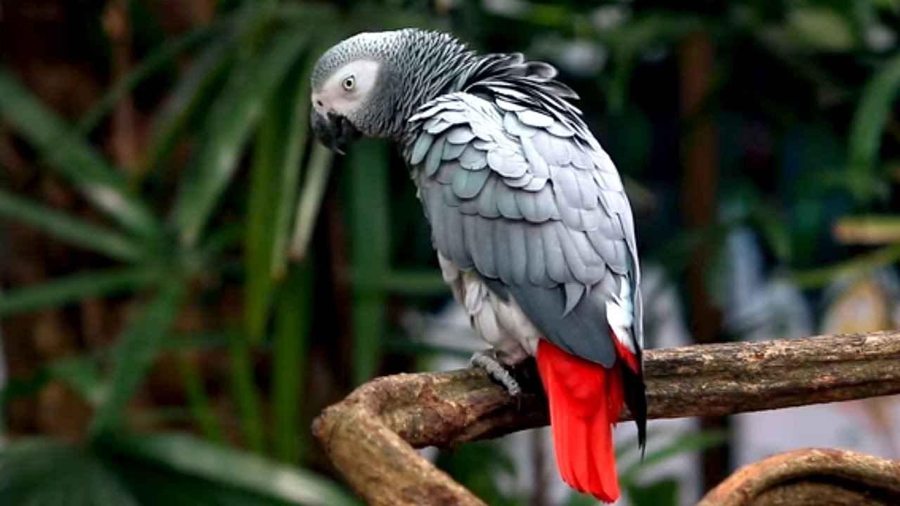 طوطی خاکستری (کاسکو)