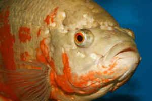 بیماری سوراخ شدن سر ماهی