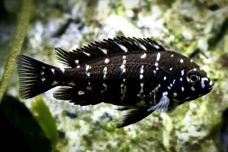 ماهی دوبویسی جوان