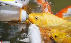 ماهیانی که با پستانک و شیشه شیر نوزاد غذا میخورند