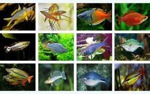 ماهی رنگین کمان + انواع رایج