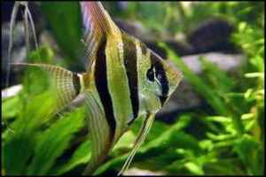 ماهی انجل (فرشته ماهی)