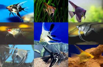 انواع ماهی انجل