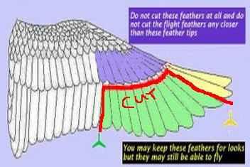 چیدن یا کوتاه کردن بال طوطی