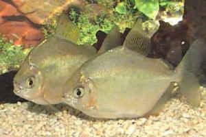 ماهی دالر (سیلور دالر)