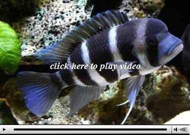 دانلود ویدیو ماهی فرانتوزا