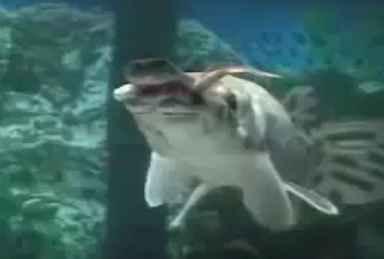 دانلود ویدیو کلیپ شکار ماهی توسط گار (سرسوسماری)