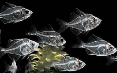 گلاس فیش (ماهیان شیشه ای)