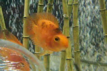 عارضه لکه سیاه در طوطی ماهی (پروت)