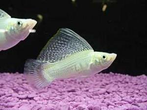 ماهی مولی (شناخت و تکثیر)