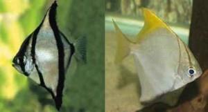 ماهی مونو (آنجل مونو)
