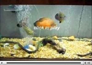 ویدیو کلیپ ماهی اسکار