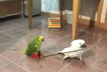 دانلود ویدیو کلیپ هنرنمایی چند طوطی
